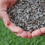 Vitamin E in sunflower-seed